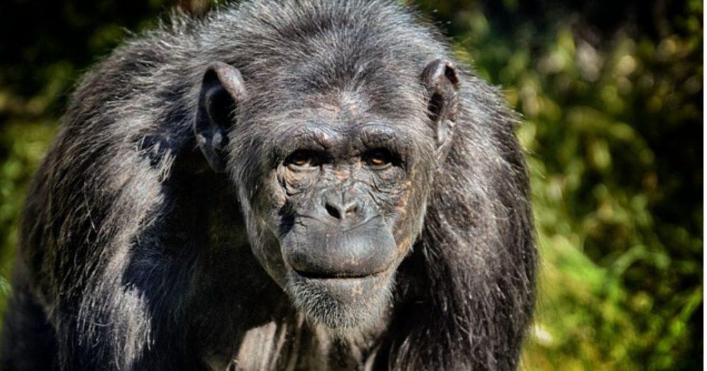 Bondo Mystery Ape aka Bili Ape Existence 1