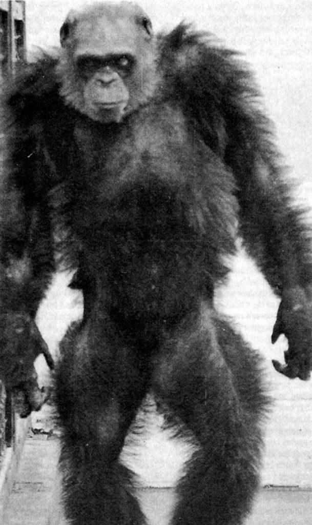 Bondo Mystery Ape aka Bili Ape Existence 3