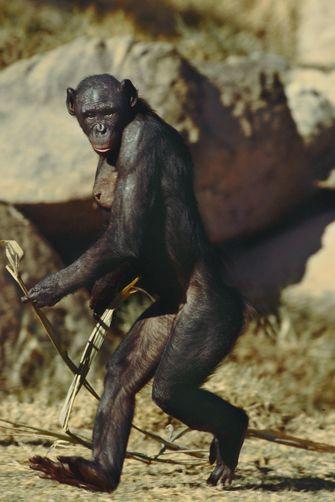 Bondo Mystery Ape aka Bili Ape Existence 2